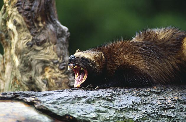 Fierce wolverine weasel growling